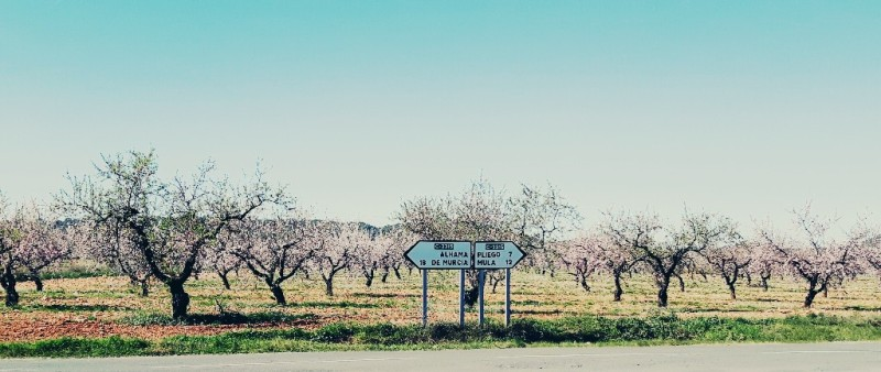 Almond trees in bloom Murcia 2016